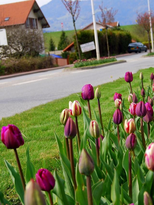 Entrée D'allevard Tulipes ©mairie D'allevard Les Bains