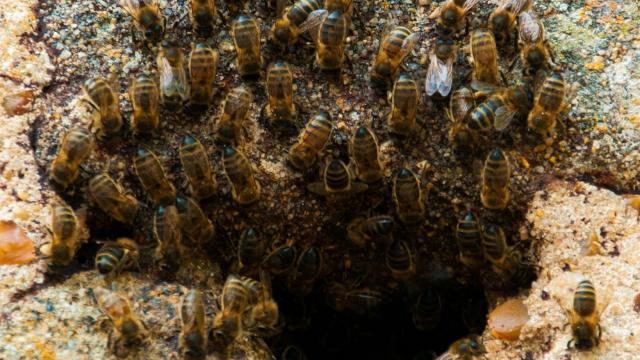 Les abeilles de l'Église Saint-Céneri