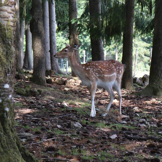 Daim au parc animalier de Saint-Léonard-des-Bois