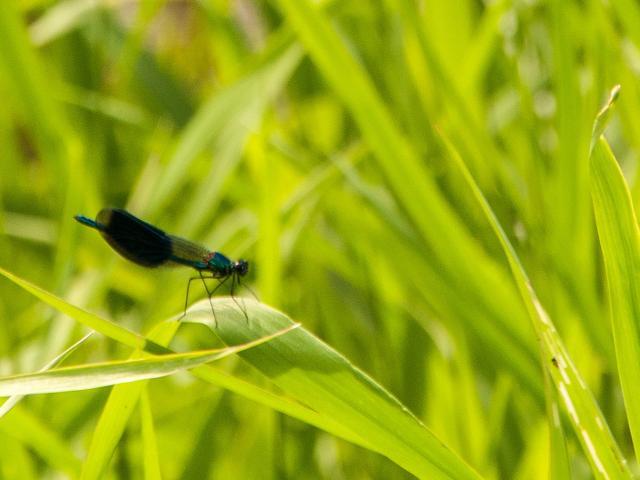 Une libellule en bord de Sarthe