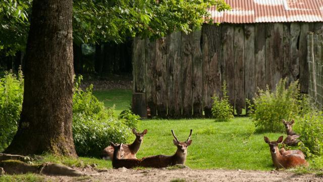 Daims au parc animalier de Saint-Léonard-des-Bois