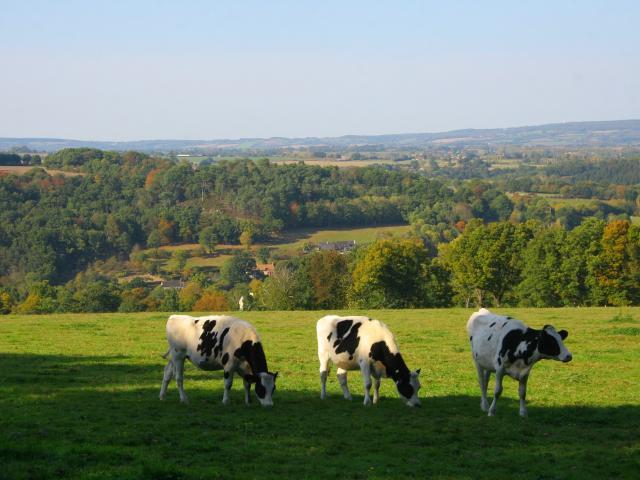 Des vaches à Saint-Léonard-des-Bois