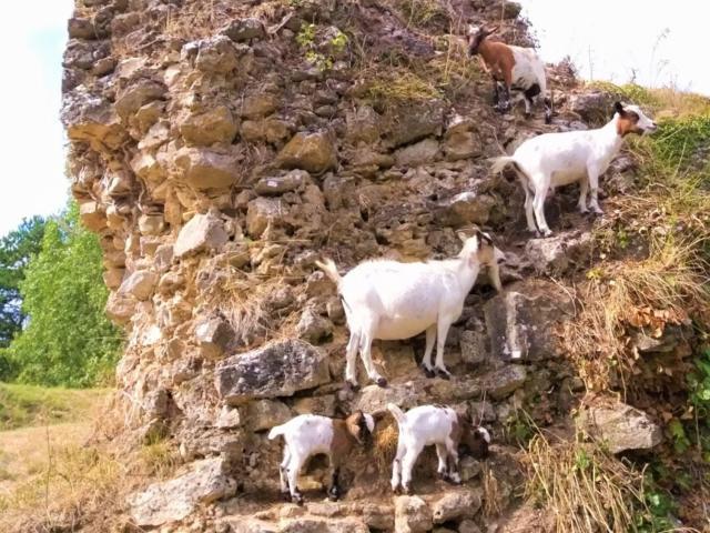 Chèvres au Parc animalier de Bourg-le-Roi