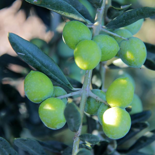Olives Moulin à Huile Margier Auriol Oti Aubagne