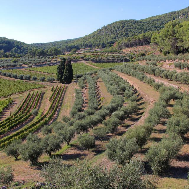 Oliviers Vignes Margier Domaine La Michelle Auriol Oti Aubagne
