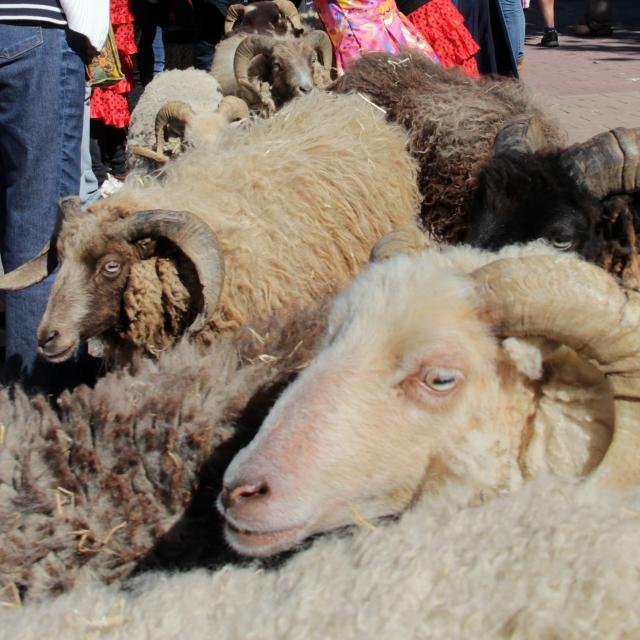 Moutons 1895 Belle Epoque Aubagne Oti Aubagne