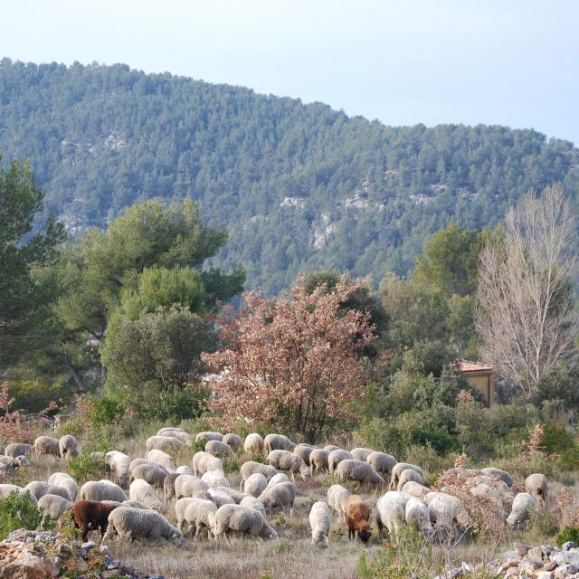 Nature Moutons Transhumance Oti Aubagne
