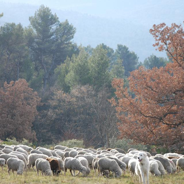 Transhumance Auriol Moutons Patou Nature Oti Aubagne