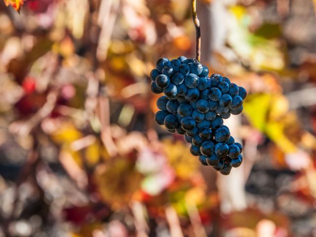 vigne vendanges vignoble vin raisin
