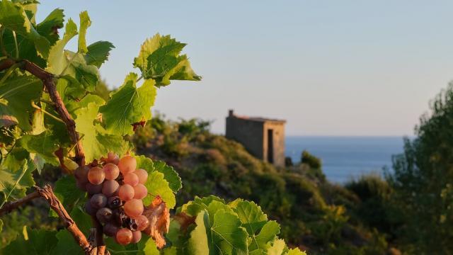 Vignoble Raisin Casot Vigne