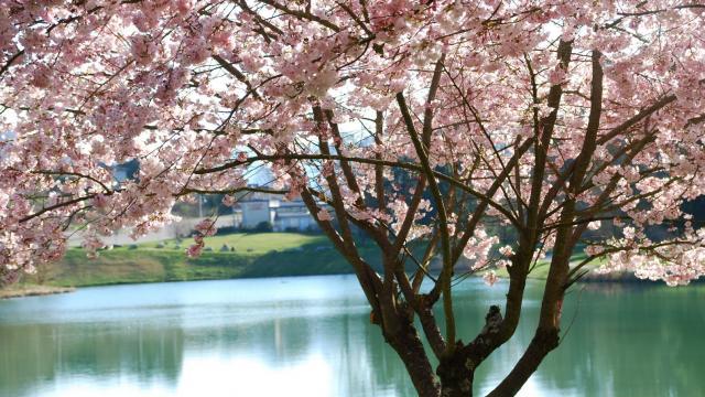 Allevard-les-Bains Lac Mirande Prunus En Fleurs