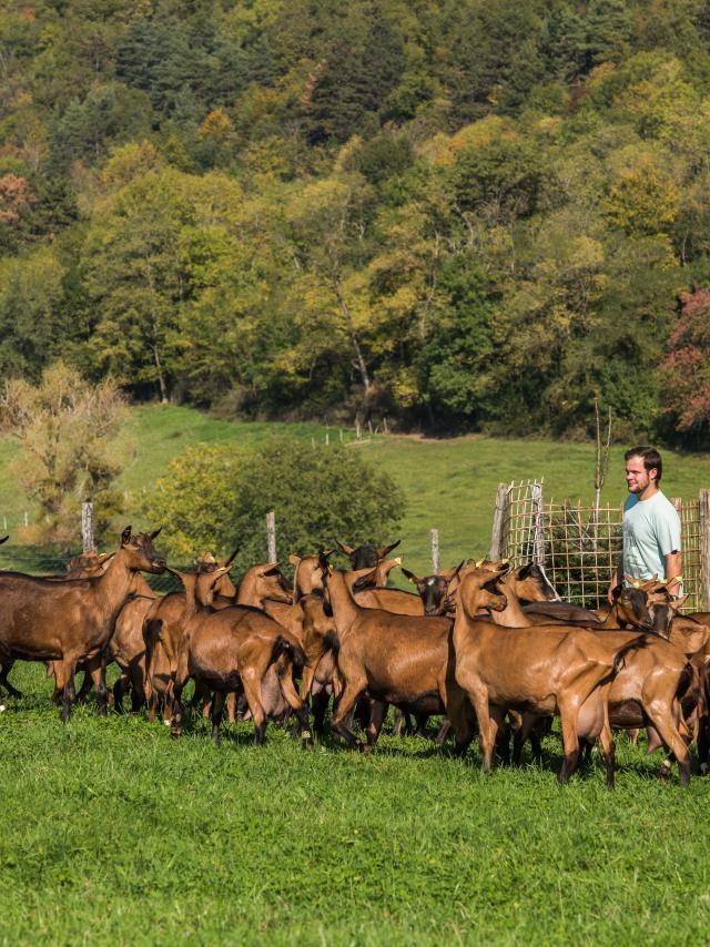 Troupeau de chèvres et son berger