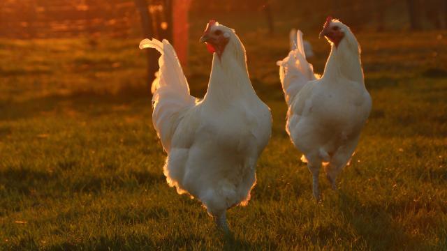 Poulets de Bresse au couché du soleil