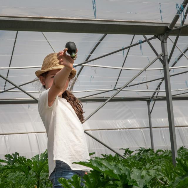 Récolte de courgettes
