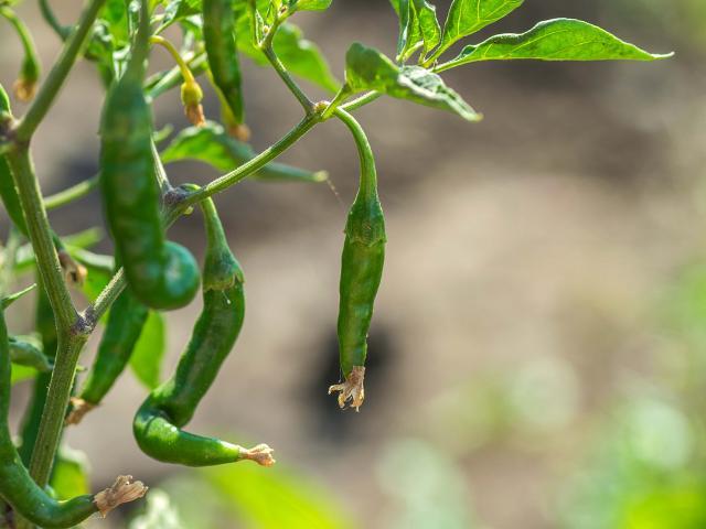 plantation de piment