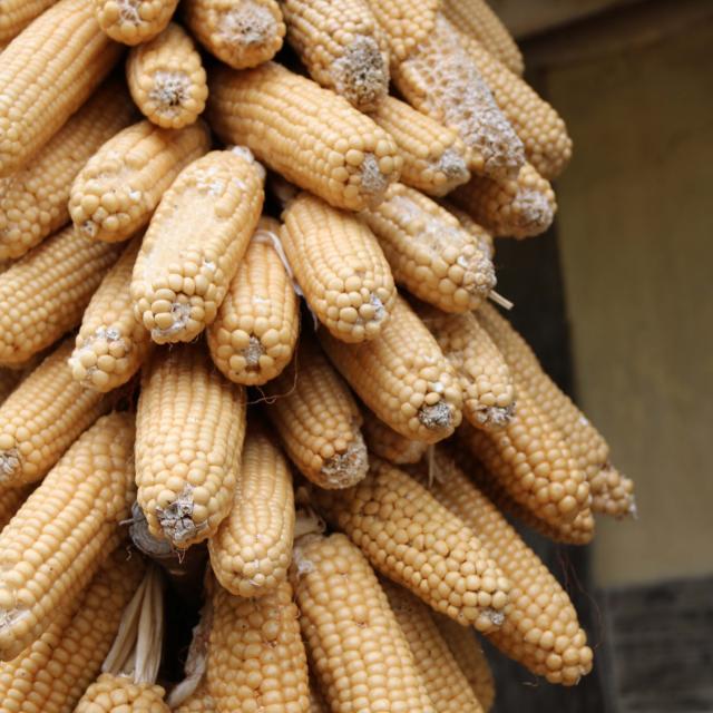 Panouille de maïs Ferme
