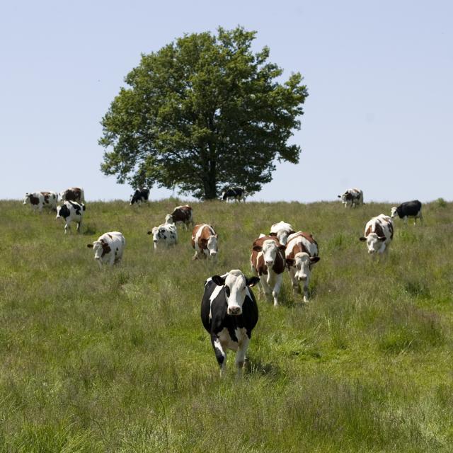 Vaches dans les champs