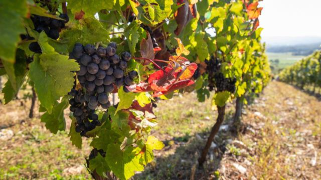 Raisins Pied de vigne
