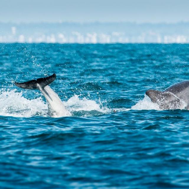 Observation des grands dauphins à Port-Mer