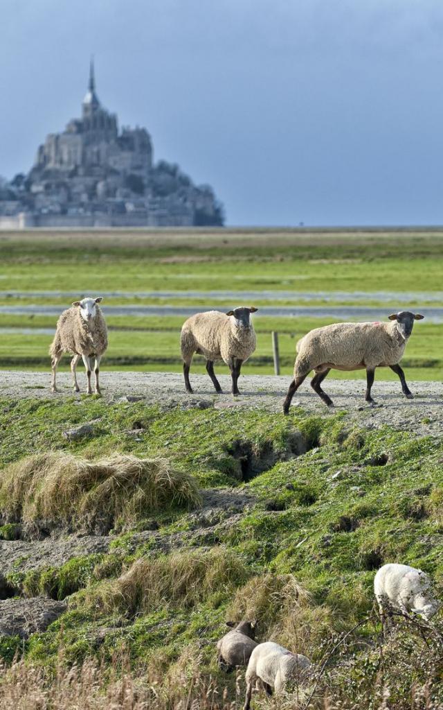 Salt marsh sheep of Mont-Saint-Michel