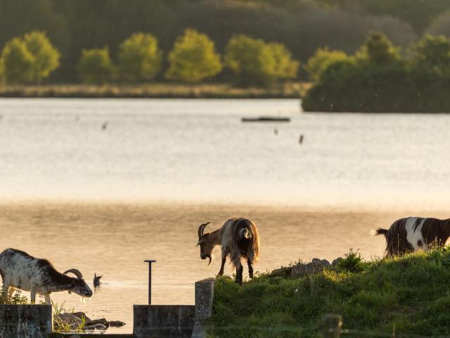 Chèvres des Fossés, domaine de Careil, Iffendic