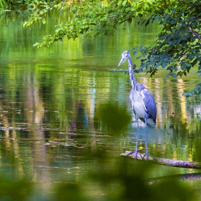 Jard Anglais Heron Nature Chalons © Michel Bister