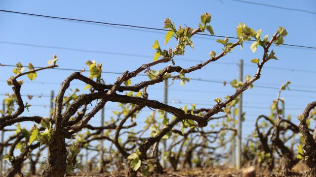 Mareuil Sur Ay Vignoble Bourgeons ©adt Marne