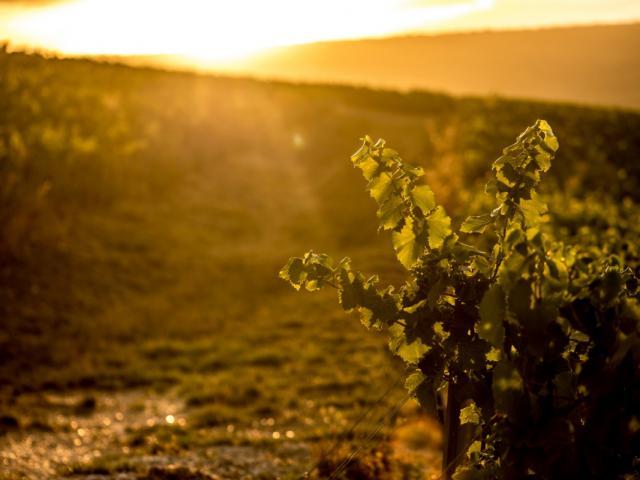 Vignes Champagne Joseph Perrier Coucher De Soleil