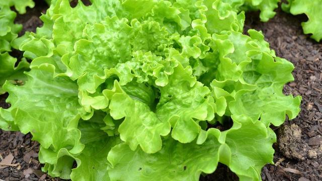 Batavia Legumes Saison Ete Aout