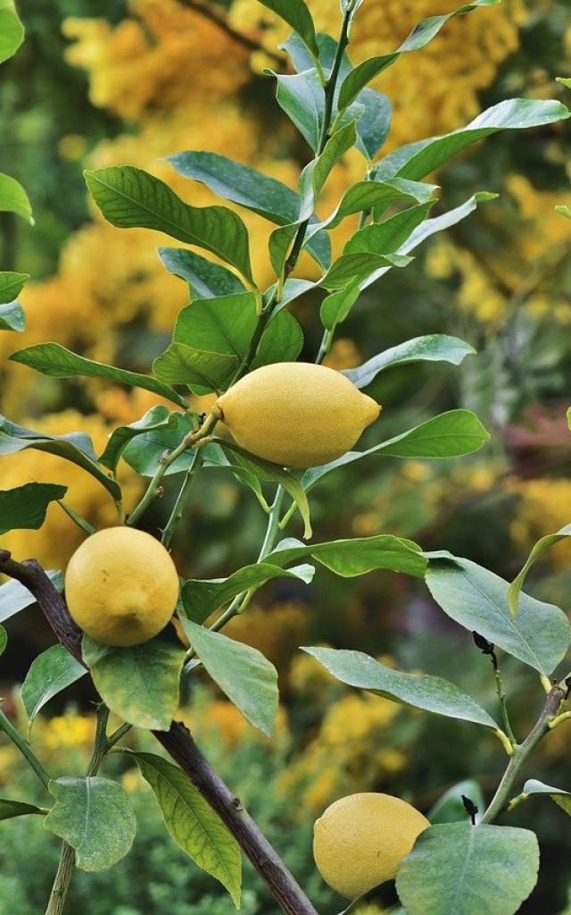 Citrons Mai Fruits Printemps