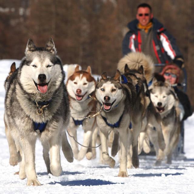 Attelage de chiens de traineaux dans les Hautes Alpes