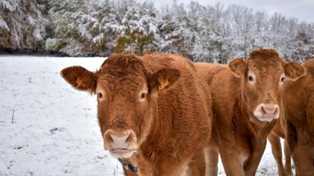 Vache en hiver dans le Champsaur