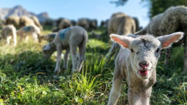 Agriculture : ferme les Sonailles à Ancelle dans le Champsaur