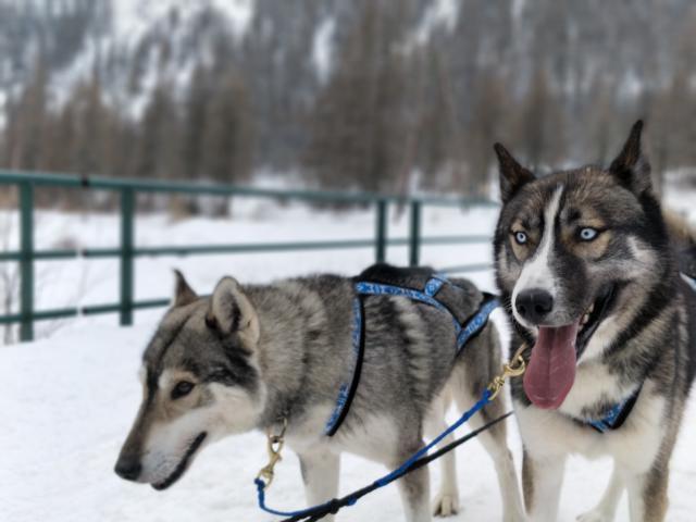 Attelage de chiens de traineaux dans la vallée de Champoléon