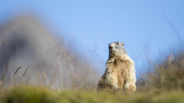 Marmotte dans le parc national des écrins