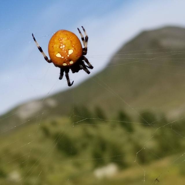 Rencontre araignée dans myrtille