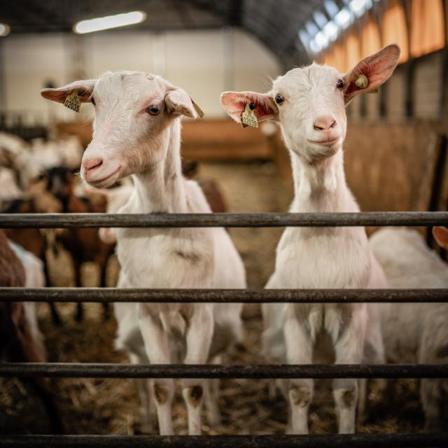 Chèvres de Benoit Ranguis dans le Champsaur