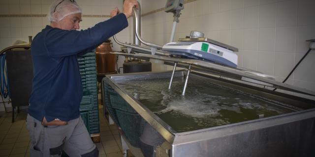 Pasteurisation de la sève de bouleau