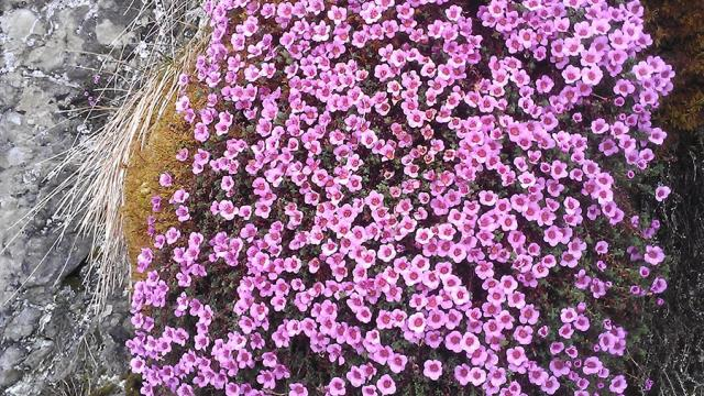 Saxifrage A Feuilles Opposees