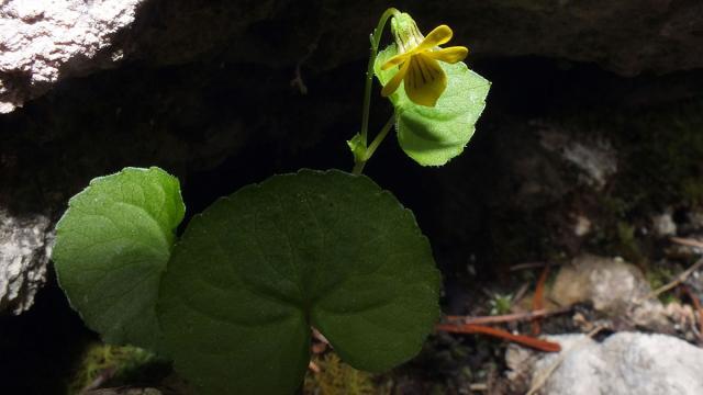Violette A Deux Fleurs