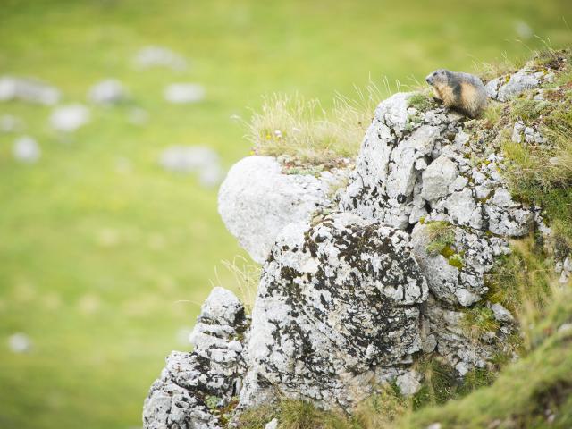 Marmotte sur un rocher