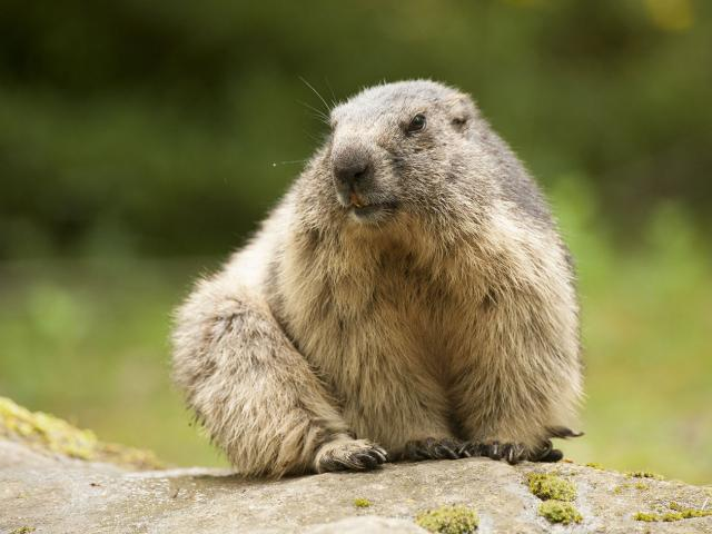 Marmotte assise