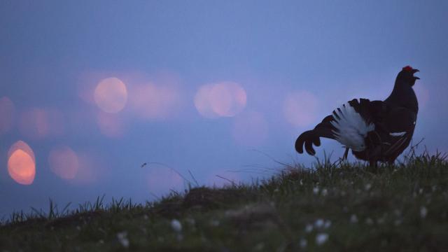 Parade d'un Tétras-lyre au lever du jour