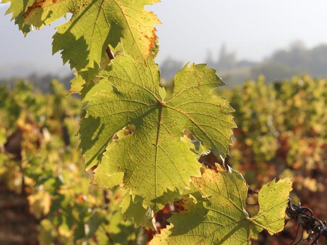 Vignes vins de Savoie