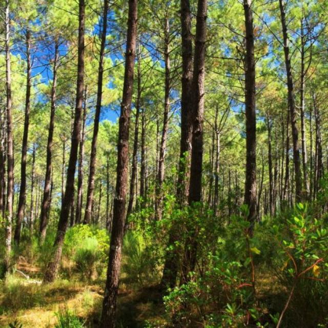 Forêt landaise | Côte Landes Nature