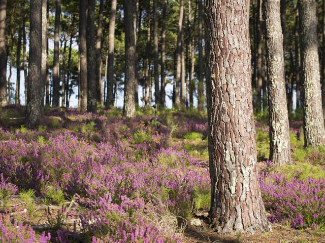 Forêt aux abords du Cap de l'Homy à Lit et Mixe | Côte Landes Nature