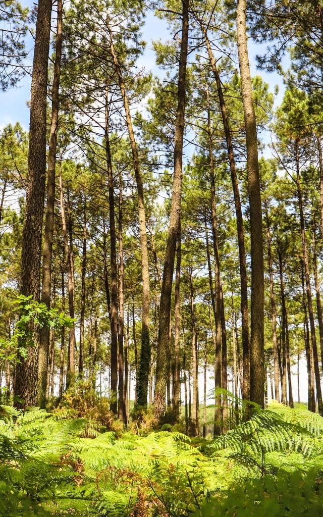 Forêt des Landes   Côte Landes Nature