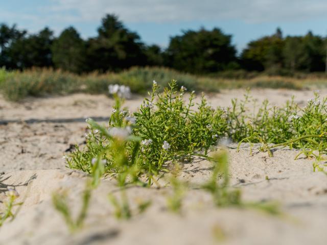 Plantes des dunes du havre de la vanlée