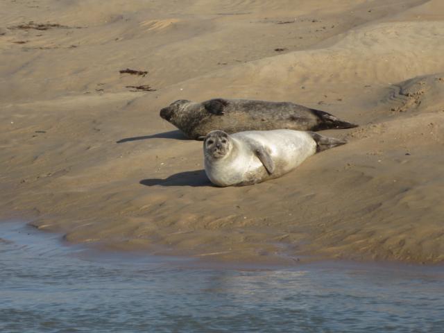 Veaux marins à COutances mer et bocage