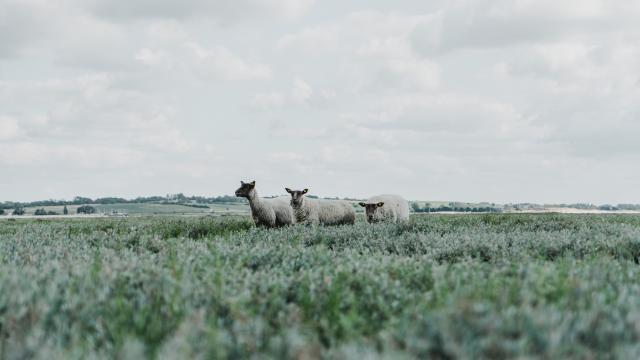 Moutons de pré salé à la pointe d'Agon